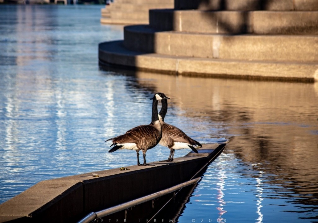 Canadian Geese bask in the morning sun