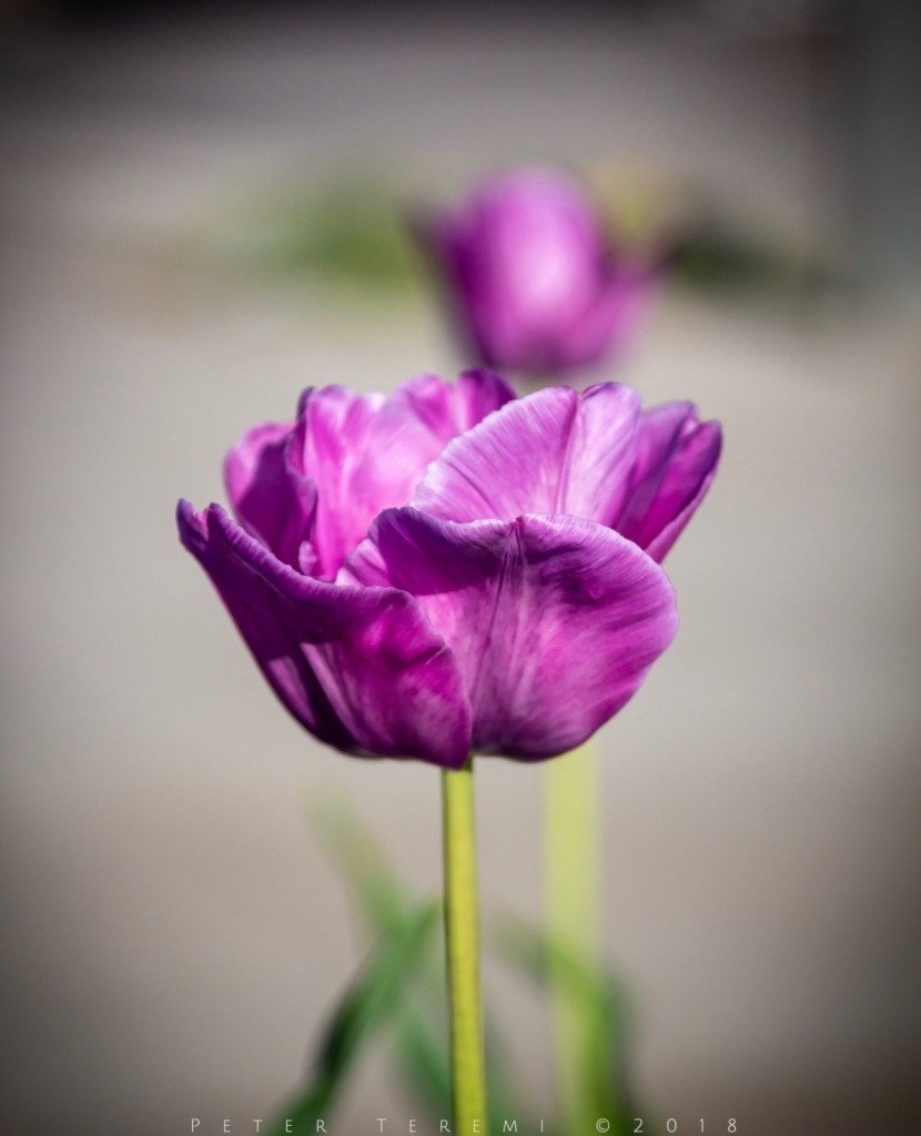 Tulips, not just for tiptoeing any more